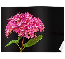 Pink Hydrangea - 2 Poster