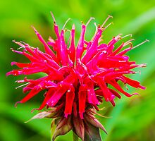 Bee Balm - Red by Mary Carol Story