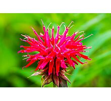 Bee Balm - Red Photographic Print