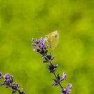 Small White Butterfly On Lavender by mcstory