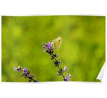 Small White Butterfly On Lavender Poster