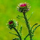 Budding Thistle by mcstory