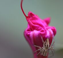 Flower Spider. by Elisabeth Thorn