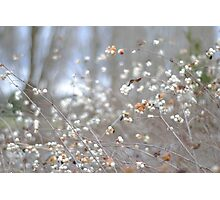 White Berries during the Winter Photographic Print