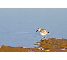 Sanderling (Calidris alba) Photographic Print