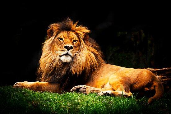 A majestic lion by Elana Bailey
