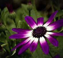Senetti  by chris2766