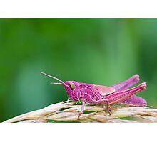Pink Grasshopper Photographic Print