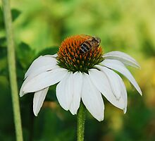 Echinacea Purpurea with Bee by jojobob