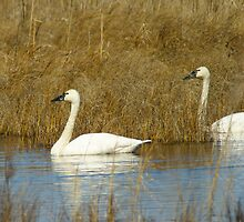 Tundra Swan-- by Berk Nash