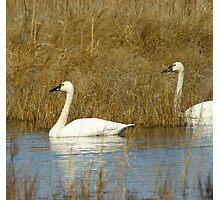 Tundra Swan-- Photographic Print
