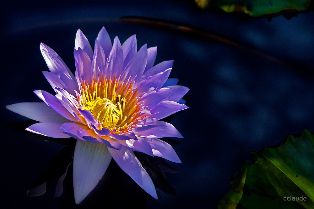 Waterlily - Purple/Yellow by cclaude