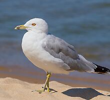 Ring-billed Gull on Beach by Kenneth Keifer