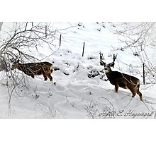 winter buck and his doe  Photographic Print