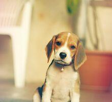 Beagle puppy by Sandra Kemppainen