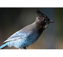 Steller's Jay ~ Provincial Bird of British Columbia, Canada Photographic Print