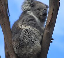 Koala by Jennifer Treloar