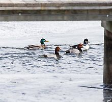Ducks Under The Dock  by Thomas Young