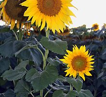 sunflower field around Ekalaka, Montana by victorgroza