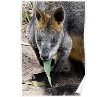 Black Wallaby with Gum Leaf Poster