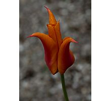 A Flamboyant Flame Tulip in a Pebble Garden Photographic Print