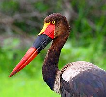 Saddle Bill Stork by jozi1