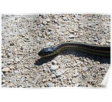 Red Sided Garter Snake Slithering Across a Path Poster