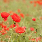 Common Poppies by Anne Gilbert