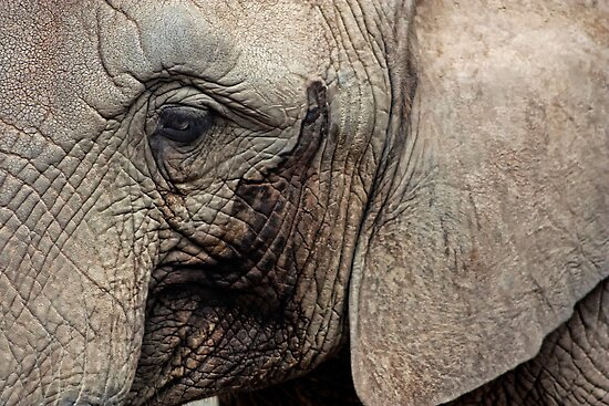 pachyderm by lucyliu