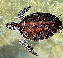 Cayman Turtle by Carey Chen