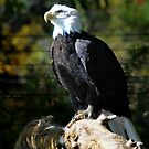 Bald Eagle  by AndreaDizzy