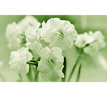 White narcissus in a green spring Photographic Print