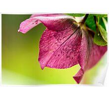 Hellebore (Winter Rose) 1223 Poster