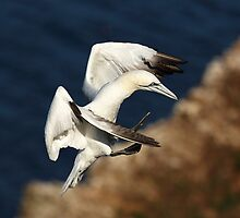 Northern Gannet by Photo Scotland