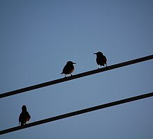 NYC Starlings by Ryan McEwan