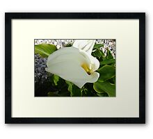 A Large Single White Calla Lily Flower Framed Print