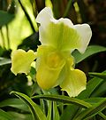Yellow Lady's Slipper Orchid by Sandy Keeton
