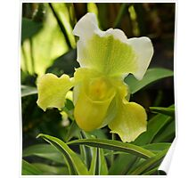 Yellow Lady's Slipper Orchid Poster