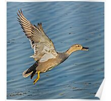 Gadwall Take-off Poster