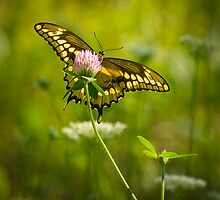 Giant Swallowtail On Clover 1 by Thomas Young