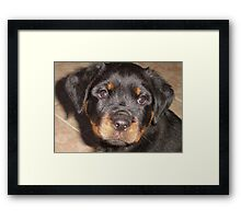 Adorable Rottweiler Puppy Making Eye Contact Framed Print