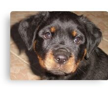 Adorable Rottweiler Puppy Making Eye Contact Canvas Print