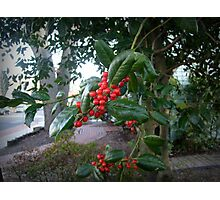 Holly Branch Photographic Print