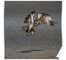Osprey over water Poster