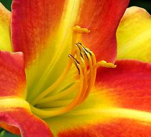 Lilium - Entwined Love by Marilyn Harris