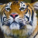 Tiger by Shellie Phipps