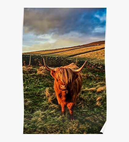 Highland Cow in the Peak District Poster