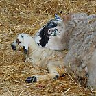 New Born Lamb with Mom by AnnDixon