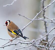 Goldfinch (Carduelis-carduelis)  by chris2766