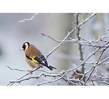 Goldfinch (Carduelis-carduelis)  Photographic Print